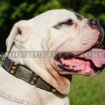 Special Dog Collar Style For American Bulldog | Dog Collar UK
