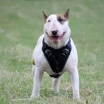 The Best Choice of Leather Dog Harness for Bullterrier