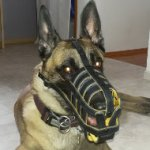 Premium Quality Leather Dog Muzzle for Belgian Shepherd Malinois