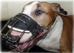 English Bull Terrier Muzzle UK Best Choice!