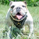 English Bulldog Harness Bestseller | Padded Leather Dog Harness
