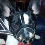 Soft Dog Muzzle for French Bulldog | Small Dog Muzzle Padded