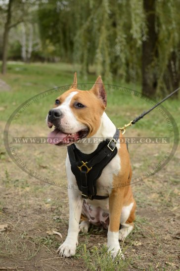 Staffordshire Bull Terrier Walking Harness With Brass Fittings