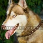 Elegant Dog Collar with Brass Studs for Siberian Husky