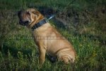 """Top Paw Style"" Elegant Spiked Leather Dog Collar For Shar Pei"