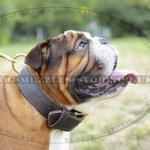 Extra Strong 2 Ply Leather Dog Collar for English Bulldog