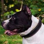 American Staffordshire Terrier Collar | Padded Dog Collars UK