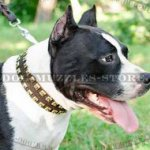 Amstaff Collars UK with Brass Studs | Amstaff Dog Collars Design