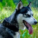 2 In Wide, Strong Leather Dog Collar for Husky