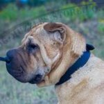 Classic Dog Buckle Collar 1.2 In Wide Leather for Shar Pei