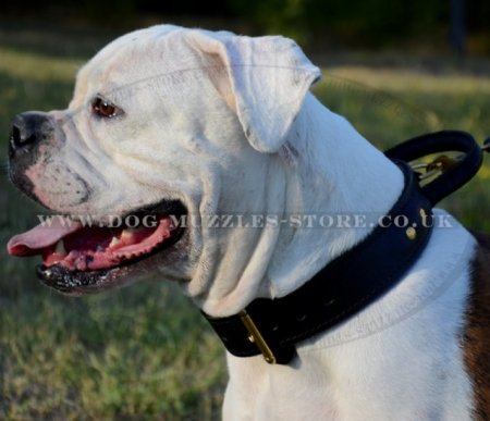 2 Ply Strong American Bulldog Collar for Large Dogs with Handle