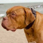 Dogue De Bordeaux Collar Wide Leather | Extra Wide Dog Collar UK