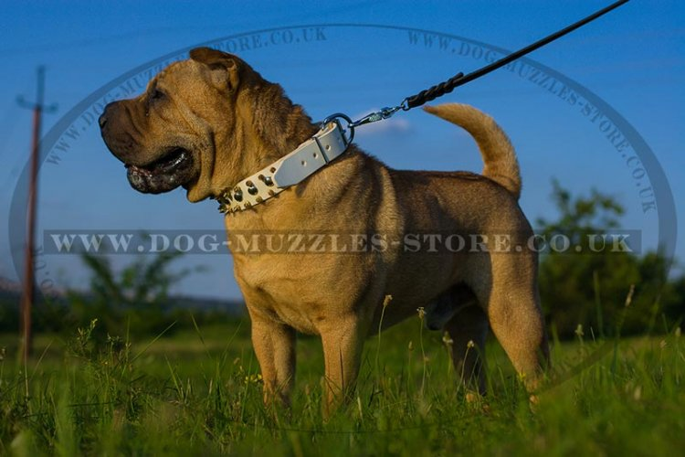 White Leather Dog Collar For Shar Pei UK