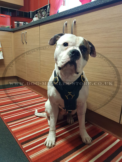 buy padded dog harness for American Bulldog online