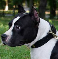American Staffordshire Terrier Leather Dog Collar with Plates