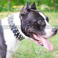 Amstaff Collars with Spiked Design | Spiked Collars for Staffy