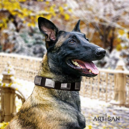 Leather dog collar with plates for Belgian Malinois