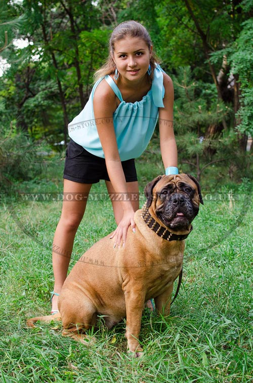 Bullmastiff Training with the Owner