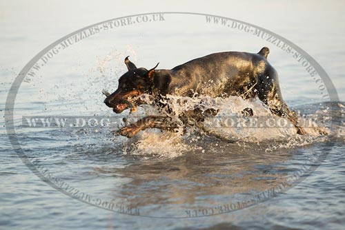 Doberman Dog Retrieve Training