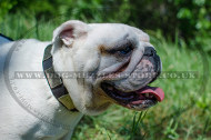English Bulldog Collar with Brass Plates | Collar for Bulldog UK