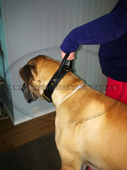 get leather dog collar for Great Dane