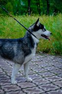 """Light Air"" Effective Leather Choke Collar For Husky Dog"