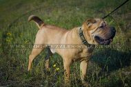 """Noble Sir"" Durable Dog Collar For Shar Pei UK"