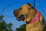 """Rose"" Stunning Shar Pei Dog Collar With Glossy Spikes"
