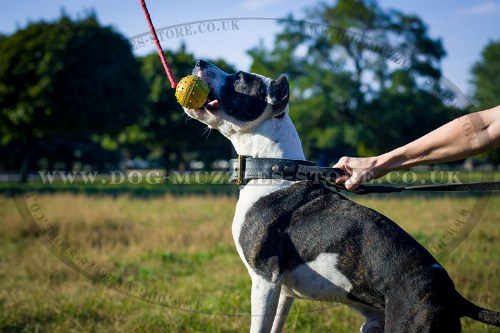 Pitbull Dog Training Ball on a String