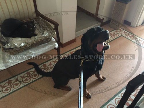 leather dog lead for Rottweiler