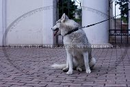 """Spiky Row"" Adorable Dog Collar For Siberian Husky With Spikes"