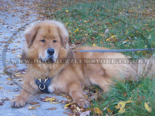 leather dog harness buy for Tibetan Mastiff