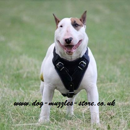 British Bull Terrier Dog Commands Training
