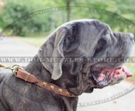 Choose Elegant Design of Dog Collar for Your Neapolitan Mastiff!