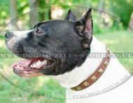 Designer Dog Collar for Amstaff Dog Breed | Studded Dog Collar