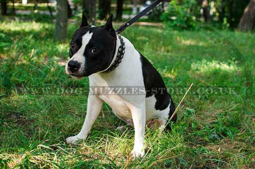 dog collar for American Staffordshire terrier