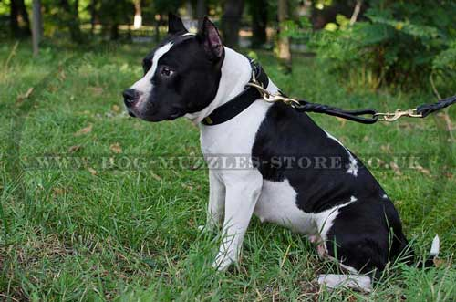 American Staffordshire Terrier Leather Dog Collar