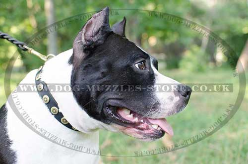 Staffordshire Bull Terrier Collar