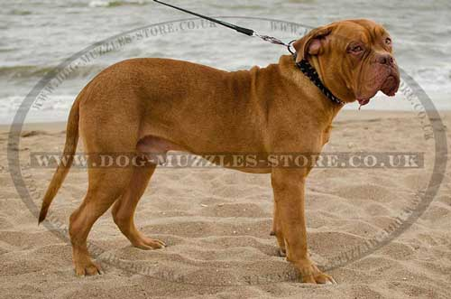 Dogue De Bordeaux Collars, New!