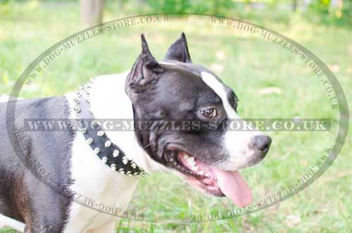 spiked dog collar for staffy