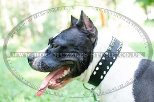 Nylon dog collar for Staffie