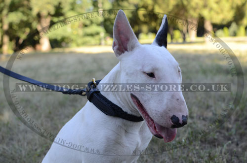 Best Collar for English Bull Terrier