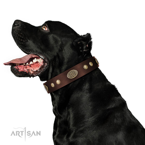 Cane Corso Dog collar for Sale
