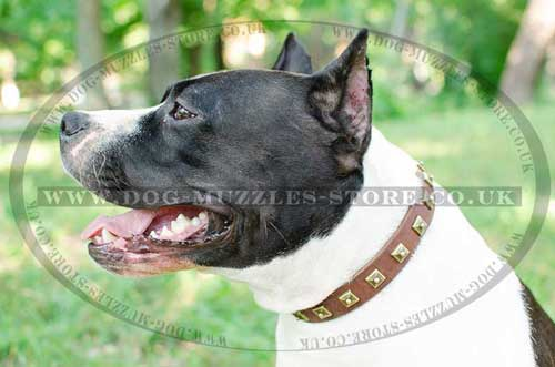 studded dog collar for amstaff