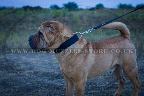 Strong Dog Collar for Shar Pei Trainin