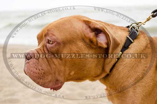 Leather dog collars for Dog de Bordo