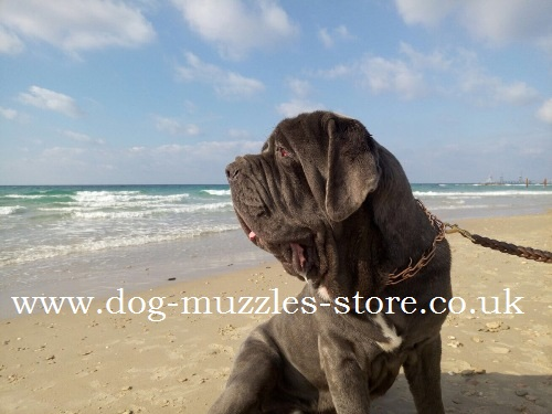 neapolitan mastiff pinch collar buy