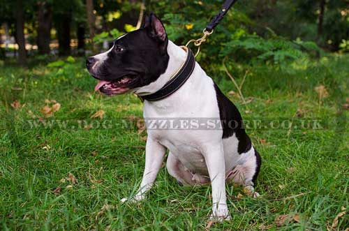 Padded dog collar for American Staffordshire Terrier