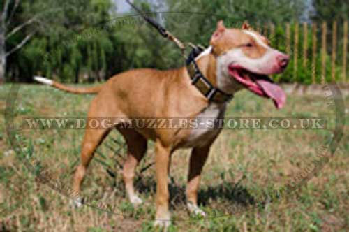 Pit Bull Terrier collar