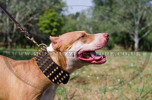 Pit Bull Terrier dog collar